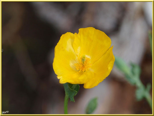 Fleur de Pavot sauvage dans la garrigue des Alpilles (Bouche du Rhône)