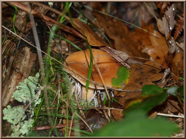 Lactaire à Lait Abondant bien caché en forêt sur le Bassin d'Arcachon