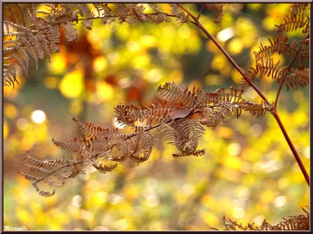 Fougère automnale en forêt sur le Bassin d'Arcachon (33)