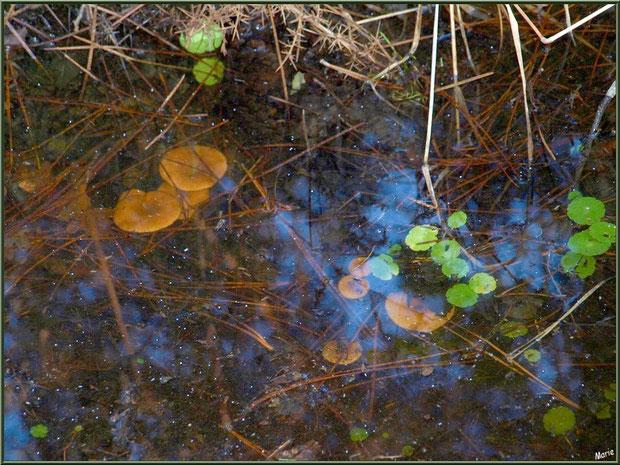 """Lactaires """"sous-marins"""" dans un fossé en forêt sur le Bassin d'Arcachon"""