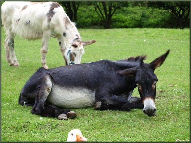 Oie et ânes à la Pisciculture des Sources à Laruns, Vallée d'Ossau (64)