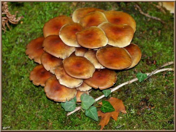 Hypholomes en Touffe épanouis sur lit moussu en forêt sur le Bassin d'Arcachon