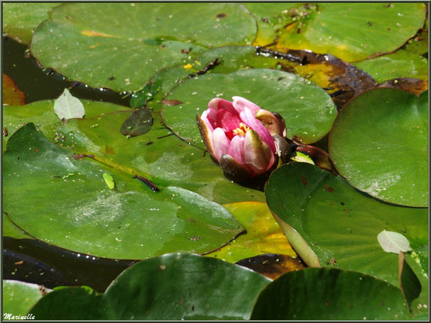 Le Canal : nénuphars du bassin - Les Jardins du Kerdalo à Trédarzec, Côtes d'Armor (22)
