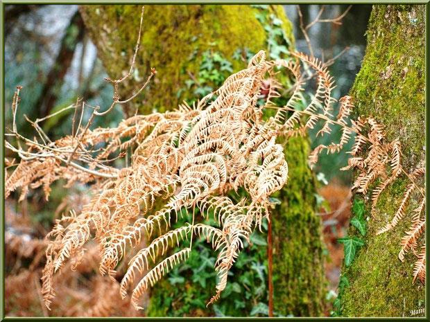 Fougères hivernales, troncs moussus et lierre au Parc de la Chêneraie à Gujan-Mestras (Bassin d'Arcachon)