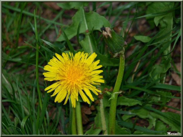 Pissenlit en fleur et bouton, flore Bassin d'Arcachon (33)