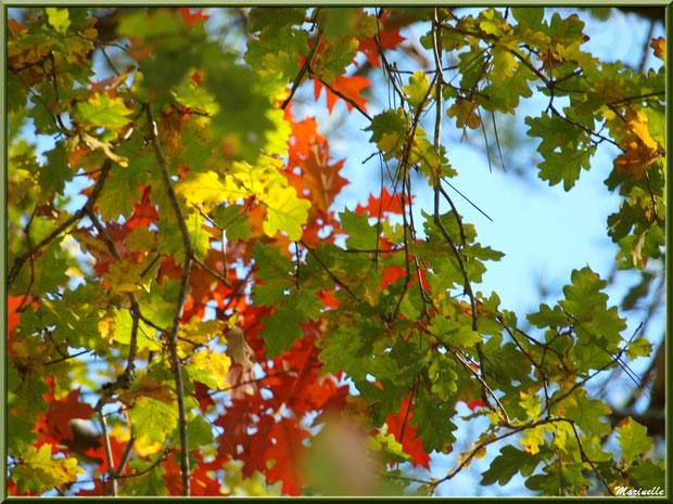 Feuilles de chêne automnal et aiguilles de pin, forêt sur le Bassin d'Arcachon (33)
