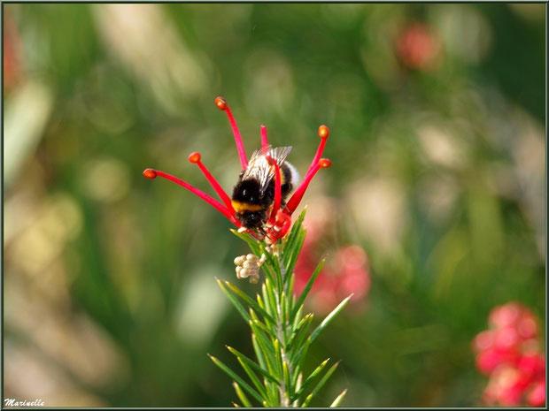 Butineuse laborieuse sur fleur de Grevillea