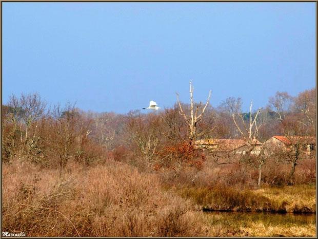 Cygne en vol au-dessus des marais, Sentier du Littoral, secteur Domaine de Certes et Graveyron, Bassin d'Arcachon (33)