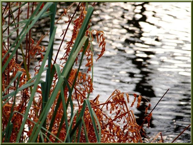 Fougères hivernales, feuilles de roseaux et reflets sur le Canal au Parc de la Chêneraie à Gujan-Mestras (Bassin d'Arcachon)