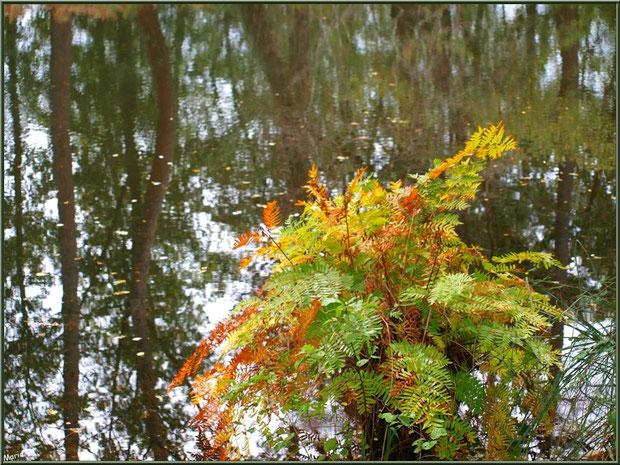 Fougère automnale et reflets en bordure du Canal des Landes au Parc de la Chêneraie à Gujan-Mestras (Bassin d'Arcachon)