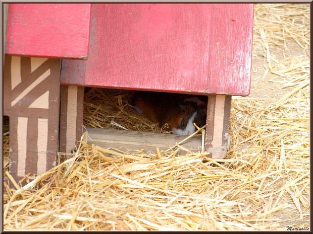 Cochon d'Inde ou Cobaye endormi dans sa maison, Parc de la Coccinelle, mini-ferme à Gujan-Mestras, Bassin d'Arcachon (33)