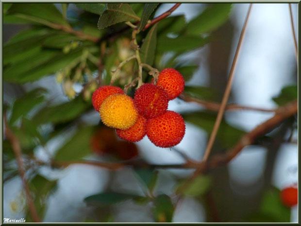 Arbousier et ses fruits mûrs, flore sur le Bassin d'Arcachon (33)