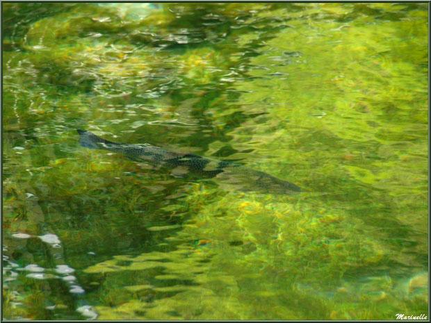 Truite au fil de l'eau du lac à la Pisciculture des Sources à Laruns, Vallée d'Ossau (64)
