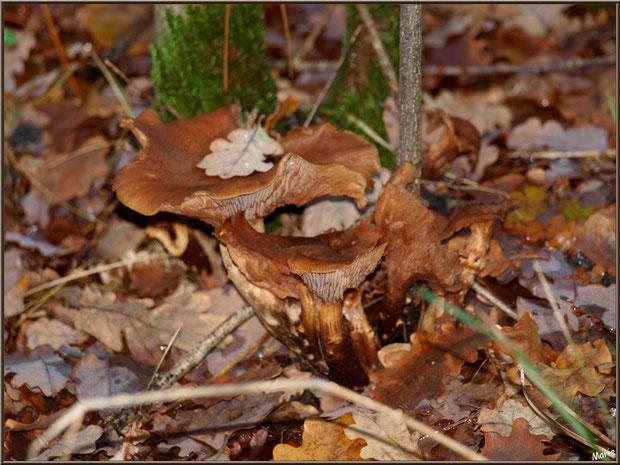 Champignons marron en bouquet en forêt sur le Bassin d'Arcachon