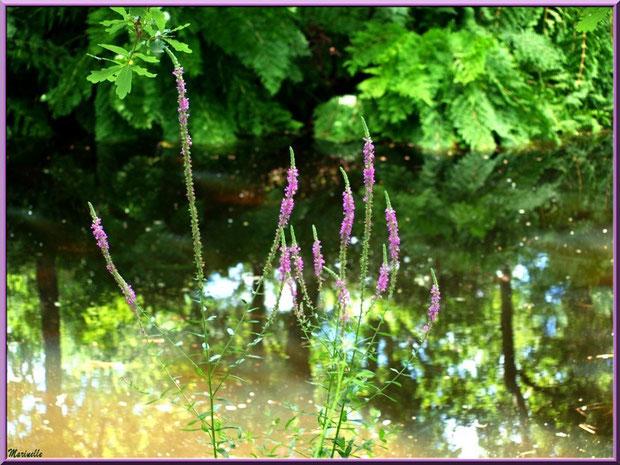 Salicaire commune, flore sur le Bassin d'Arcachon (33)