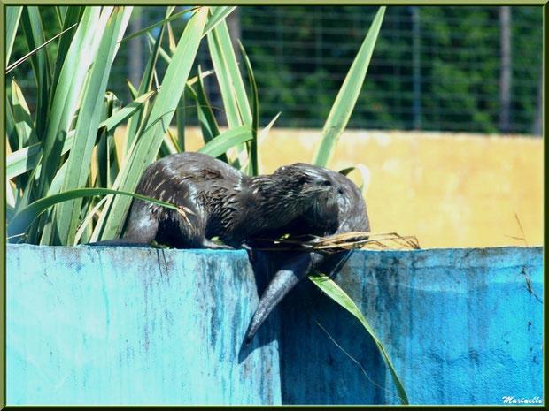 Loutres Cendrée, Zoo du Bassin d'Arcachon, La Teste de Buch (33)