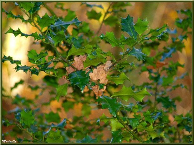 Branche de houx et feuilles de chêne automnal épinglées, forêt sur le Bassin d'Arcachon (33)