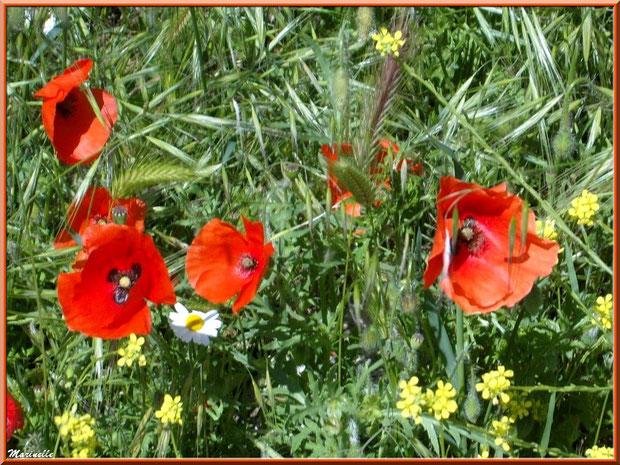 Coquelicot ou Pavot des Champs ou Pavot Sauvage ou Pavot Rouge ou Pavot Coq ou Mahon ou Ponceau ou Poinceau parmi d'autres fleurettes, flore Bassin d'Arcachon (33)