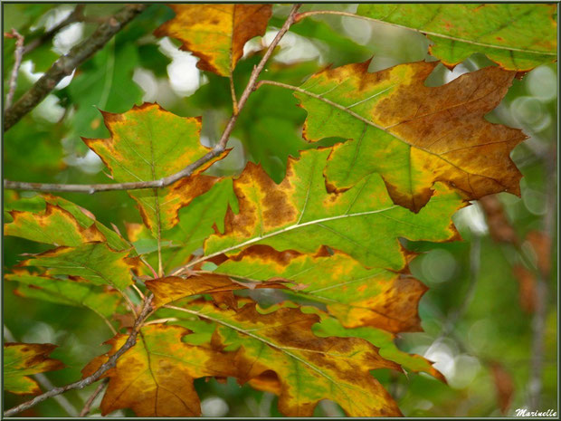 Feuilles de chêne automnal, forêt sur le Bassin d'Arcachon (33)