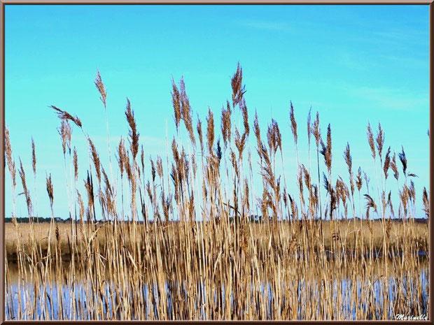 Roseaux en bordure de La Leyre, Sentier du Littoral, secteur Port du Teich en longeant La Leyre, Le Teich, Bassin d'Arcachon (33)