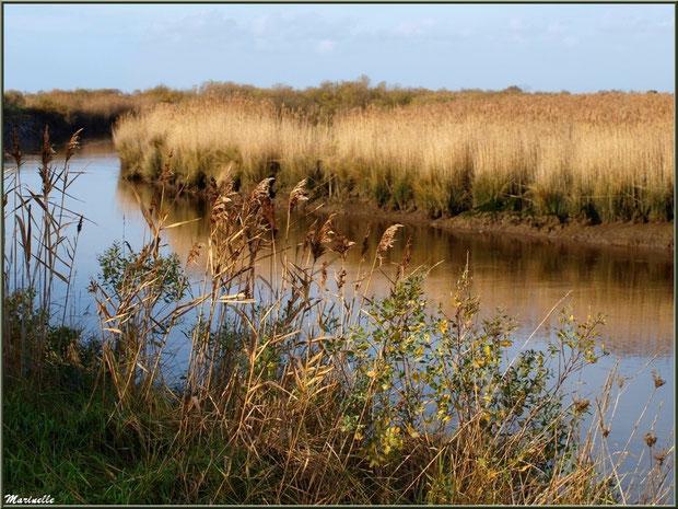 La Leyre bordée de roseaux, Sentier du Littoral, secteur Port du Teich en longeant La Leyre, Le Teich, Bassin d'Arcachon (33)