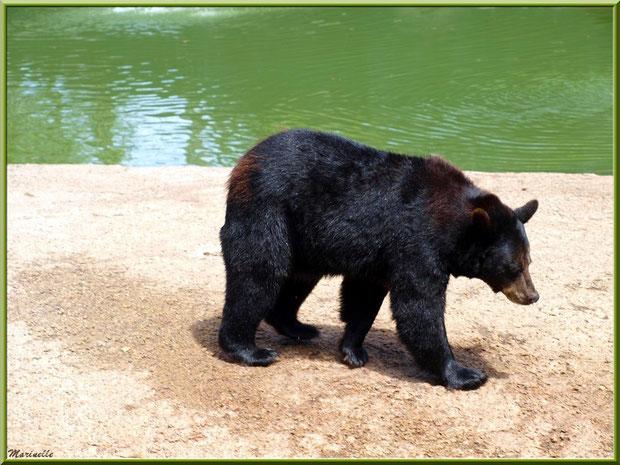 Ours Brun, Zoo du Bassin d'Arcachon, La Teste de Buch (33)