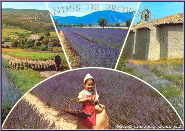 Lavandes de Provence (carte postale, collection privée)