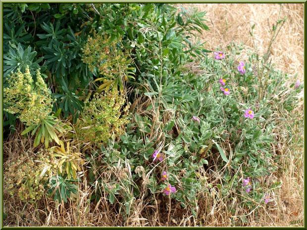 Euphorbes et cistes en fleurs dans la garrigue des Alpilles (Bouche du Rhône)