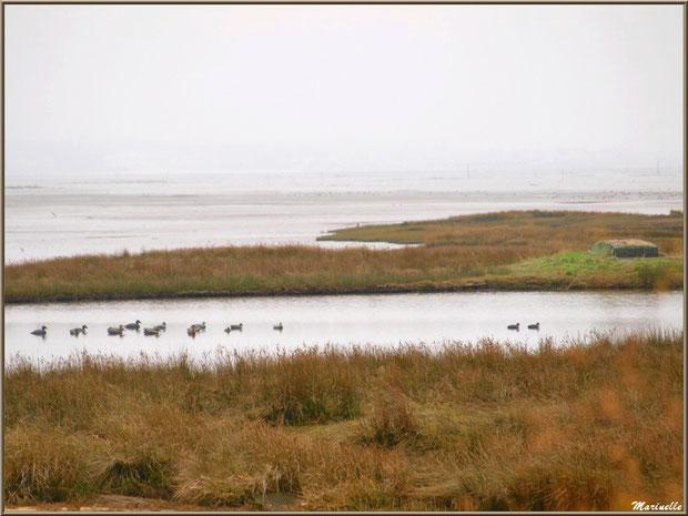 Tonne pour la chasse, lac à tonne et ses canards appeaux pour la chasse avec leur lac à tonne, côté Bassin sur le Sentier du Littoral, secteur Moulin de Cantarrane, Bassin d'Arcachon
