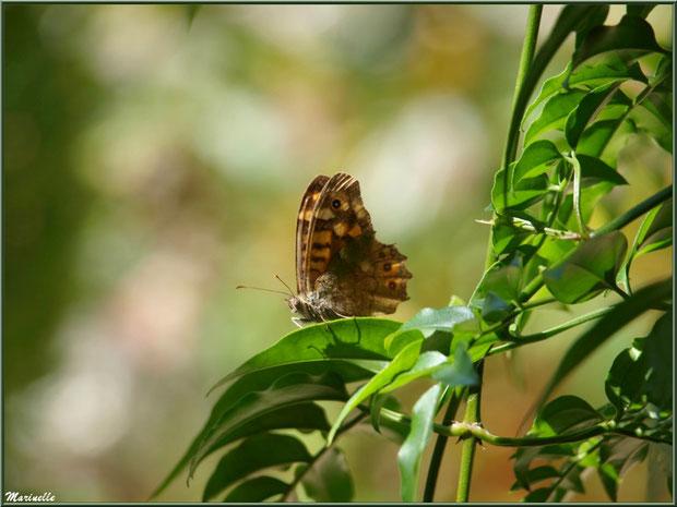 Papillon Tircis sur branche de Jasmin