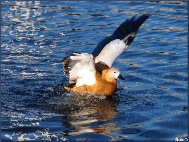 Canard Tadorne Casarca s'ébat dans le bassin à l'entrée du Parc de la Chêneraie à Gujan-Mestras (Bassin d'Arcachon)