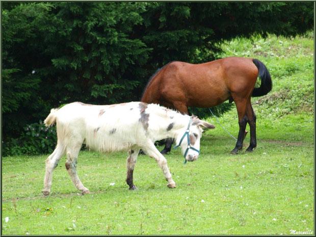 Cheval et âne bicolore à la Pisciculture des Sources à Laruns, Vallée d'Ossau (64)