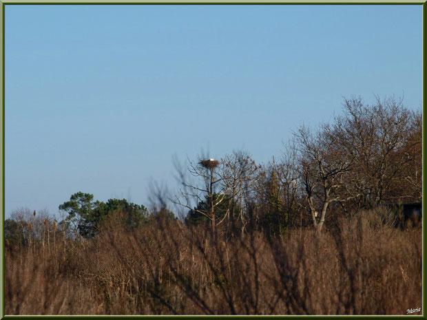 Cigogne dans son nid haut perché sur le Sentier du Littoral, secteur Moulin de Cantarrane, Bassin d'Arcachon
