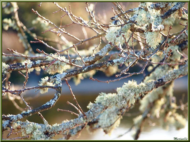 Mousse du Chêne sur une branche de chêne, en hiver, en bordure d'un réservoir sur le Sentier du Littoral, secteur Port du Teich en longeant La Leyre, Le Teich, Bassin d'Arcachon (33)