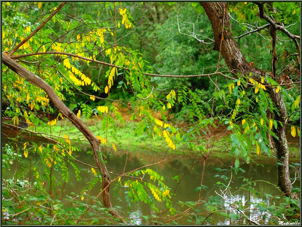 Acacia automnal et reflets en bordure de La Leyre, Sentier du Littoral au lieu-dit Lamothe, Le Teich, Bassin d'Arcachon (33)