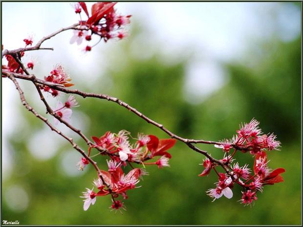 Prunus en fleurs printanières au Parc de la Chêneraie à Gujan-Mestras (Bassin d'Arcachon)
