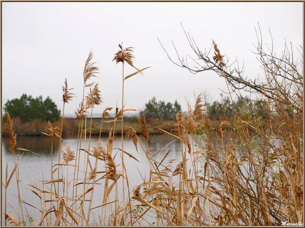 Végétation par temps gris hivernal en bordure d'un réservoir, Sentier du Littoral, secteur Moulin de Cantarrane, Bassin d'Arcachon