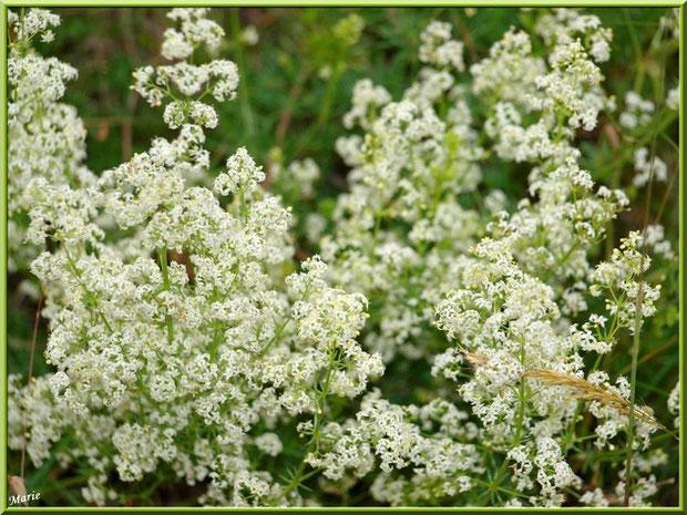 Minuscule petites fleurs blanches en campagne à Saint Rémy de Provence, Alpilles (13)