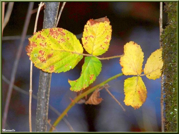 Branche de roncier automnal entre les arbres, forêt sur le Bassin d'Arcachon (33)