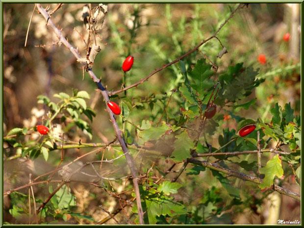 Baies d'églantier et feuilles de chênes, forêt sur le Bassin d'Arcachon (33)