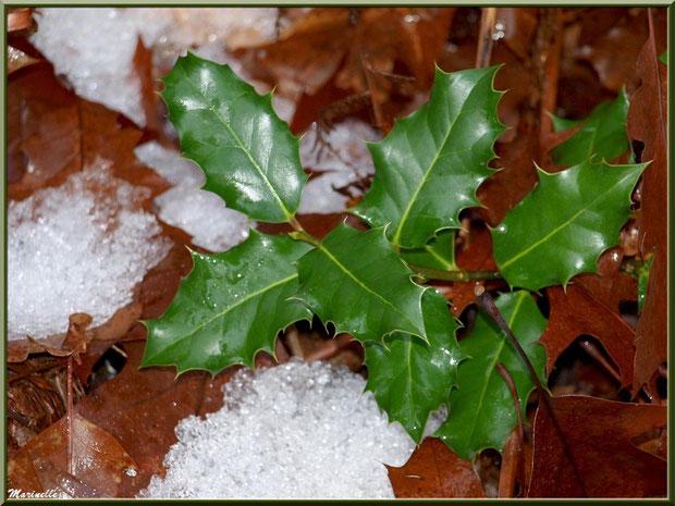 Houx hivernal sur tapis de neige et de feuilles de chênes, flore Bassin d'Arcachon (33)