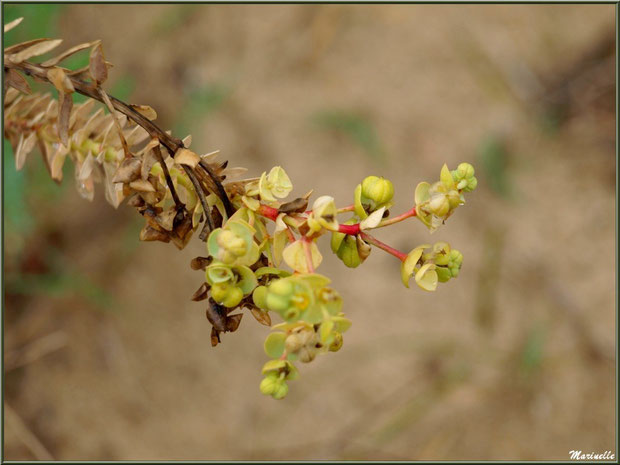 Euphorbe des Dunes ou Euphorbe Maritime ou Euphorbe des Sables ou Euphorbe du Soleil en fleurs, flore Bassin d'Arcachon (33)