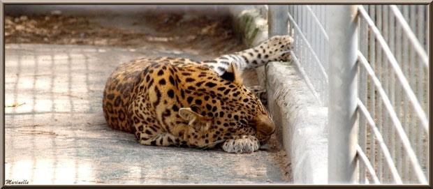 Panthère endormie, Zoo du Bassin d'Arcachon, La Teste de Buch (33)