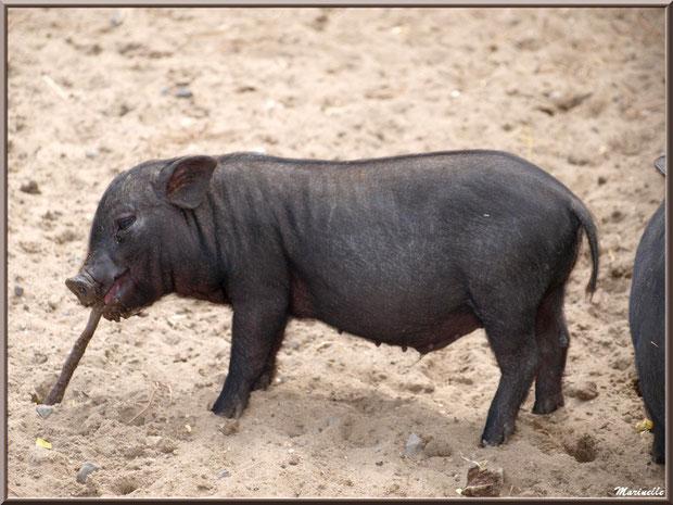 Porc du Vietnam,  Parc de la Coccinelle, mini-ferme à Gujan-Mestras, Bassin d'Arcachon (33)