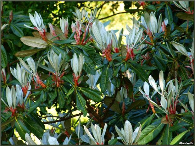Le Canal et une de ses variétés de magnolias - Les Jardins du Kerdalo à Trédarzec, Côtes d'Armor (22)