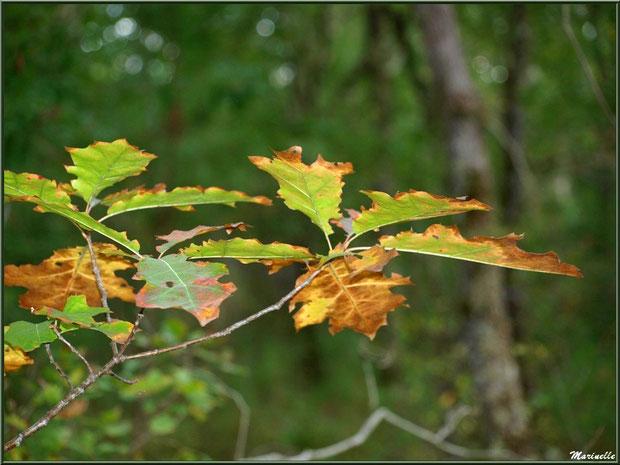 Branche de chêne automnale, forêt sur le Bassin d'Arcachon (33)