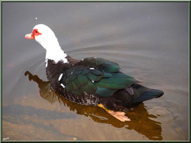 Canard de Barbarie dans le bassin à l'entrée du Parc de la Chêneraie à Gujan-Mestras (Bassin d'Arcachon)
