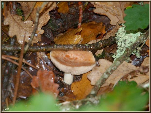 Jeune Lactaire à Lait Abondant en forêt sur le Bassin d'Arcachon