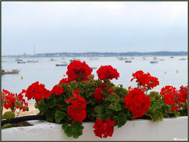 Géraniums en fleurs sur une terrasse fleurie en bordure de la plage et du Bassin, Village de L'Herbe, Bassin d'Arcachon (33)