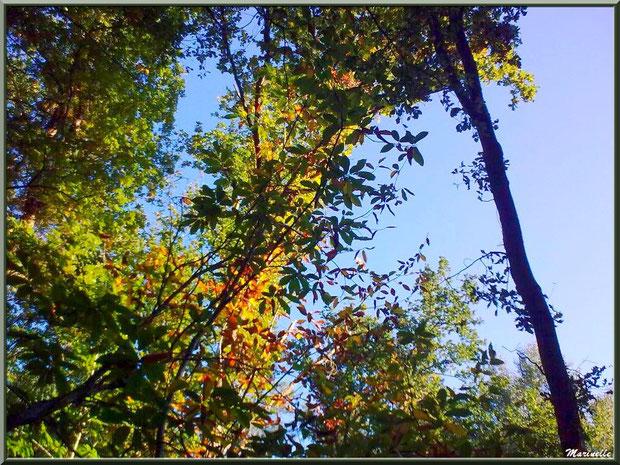 Châtaigniers automnal sur fond de chênes, forêt sur le Bassin d'Arcachon (33)